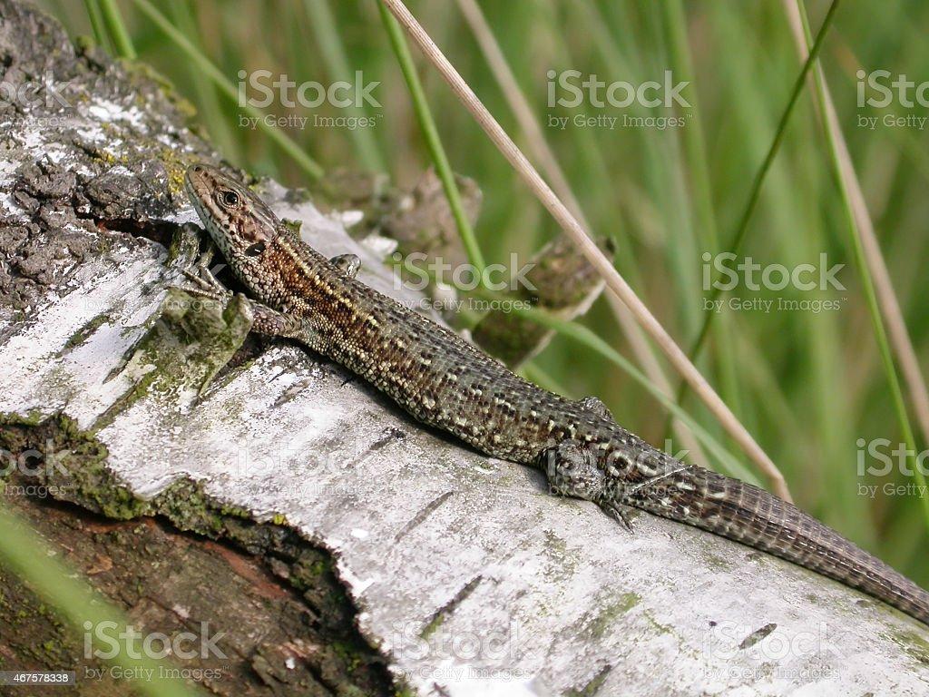 Viviparous (Common) Lizard (Lacerta viviparus) Female stock photo