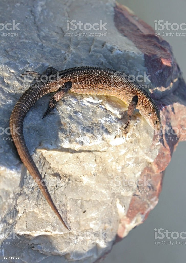 Viviparous Lizard on the stone stock photo
