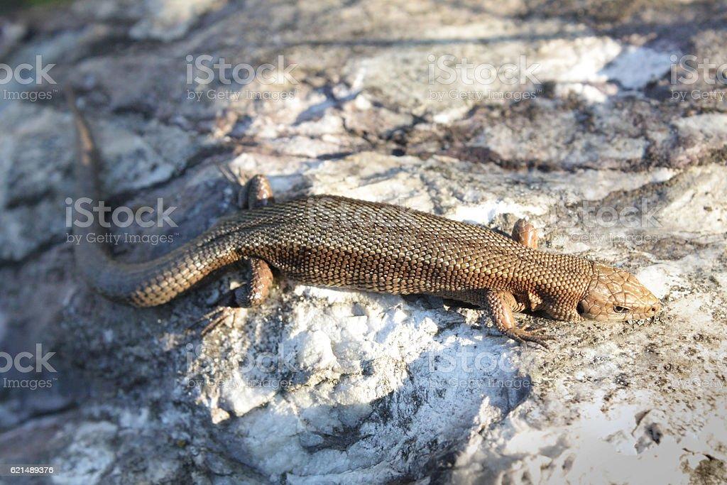 Viviparous Lizard on the stone stock photo
