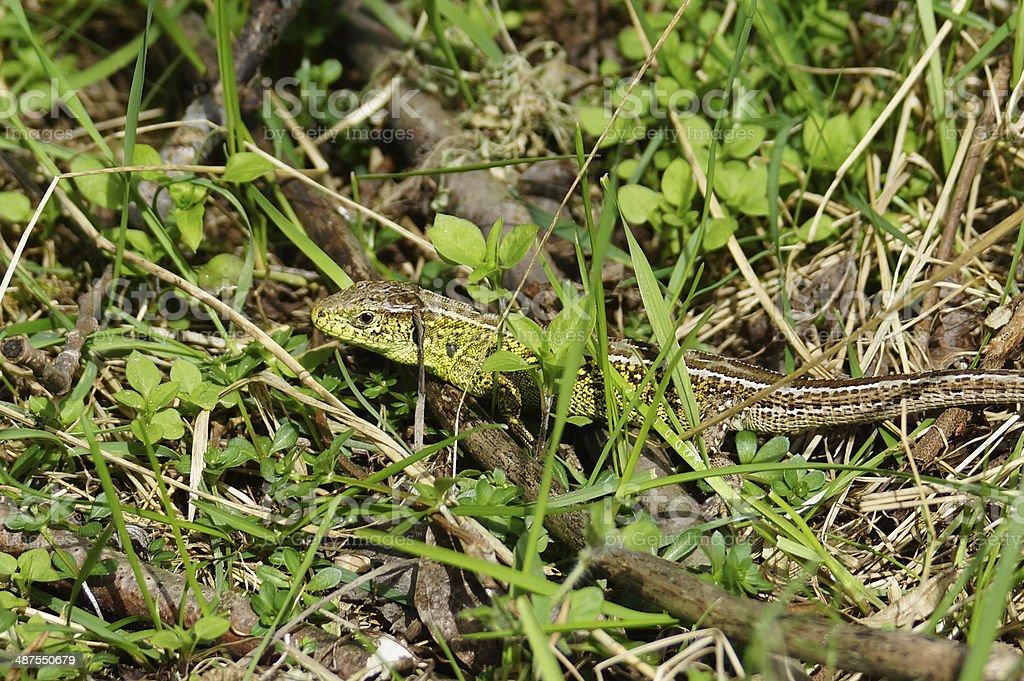 Viviparous lizard stock photo
