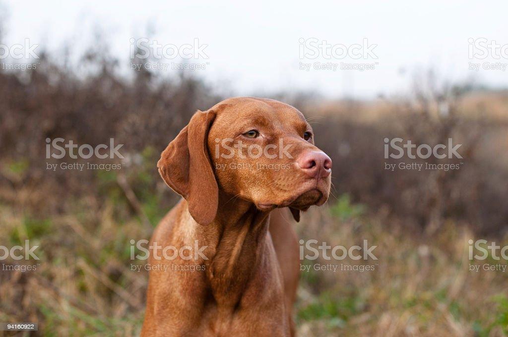 Vizsla Dog in the Field stock photo