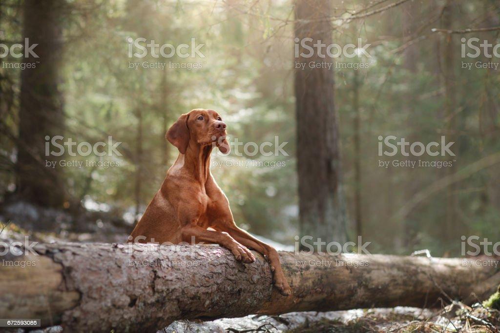 Vizsla dog in the woods stock photo