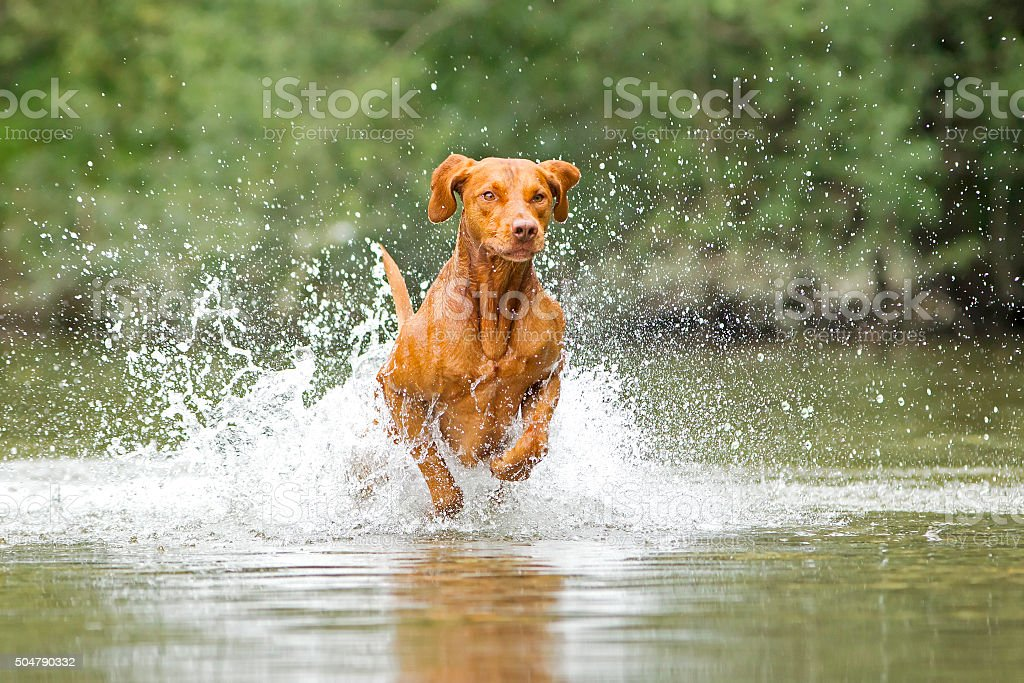 Vizsla in water stock photo