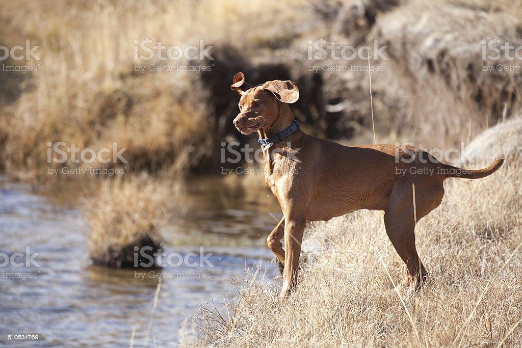 Vizsla Looks and Points Towards River stock photo