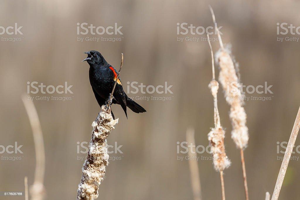 Vocal Red-winged Blackbird (Agelaius phoeniceus) In Natural Habitat stock photo