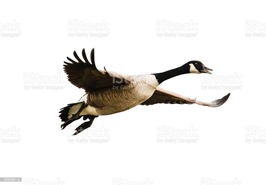 Vogel, Kanadagans im Flug - isoliert auf weiß stock photo