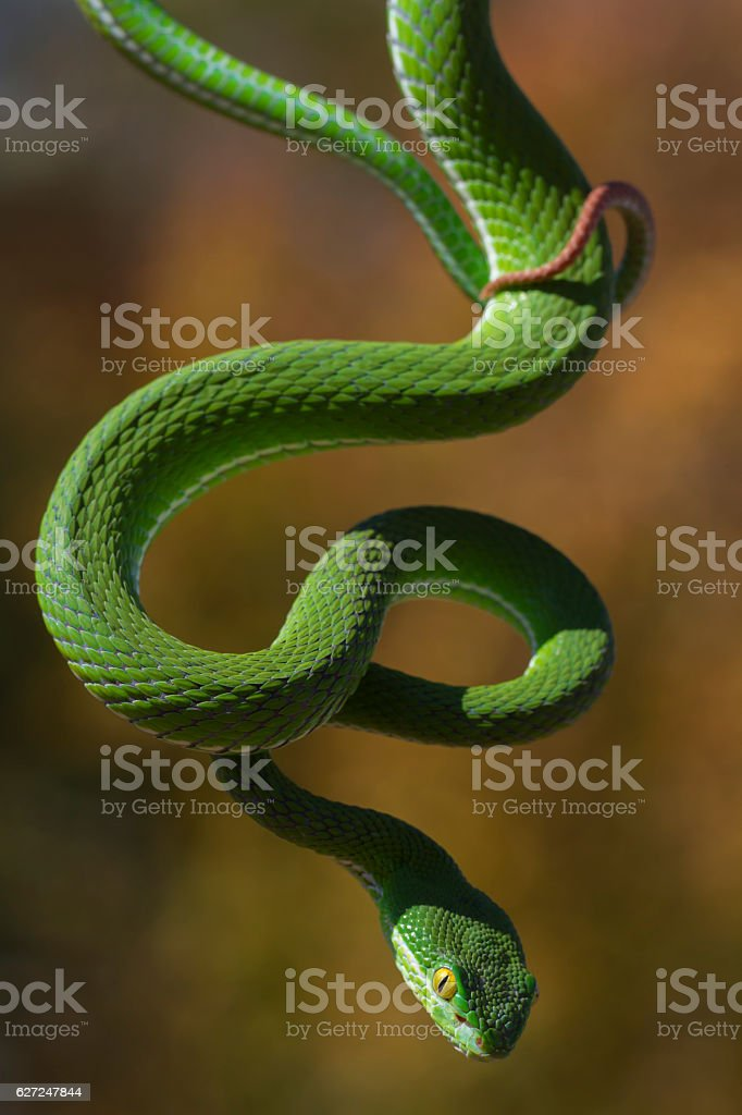 Vogel's Pit Viper Dangling From Branch stock photo
