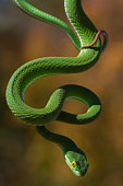 Vogel's Pit Viper Dangling From Branch