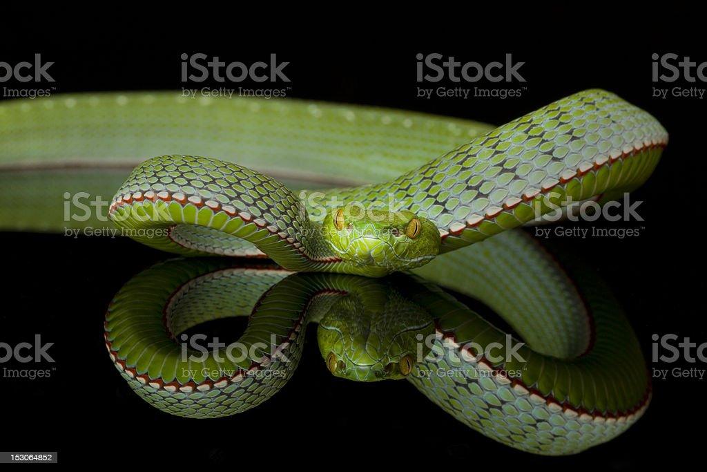 Vogel's Pit Viper Snake - Reflection royalty-free stock photo