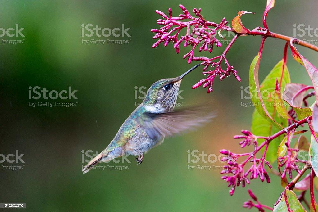 Volcano Hummingbird Female stock photo