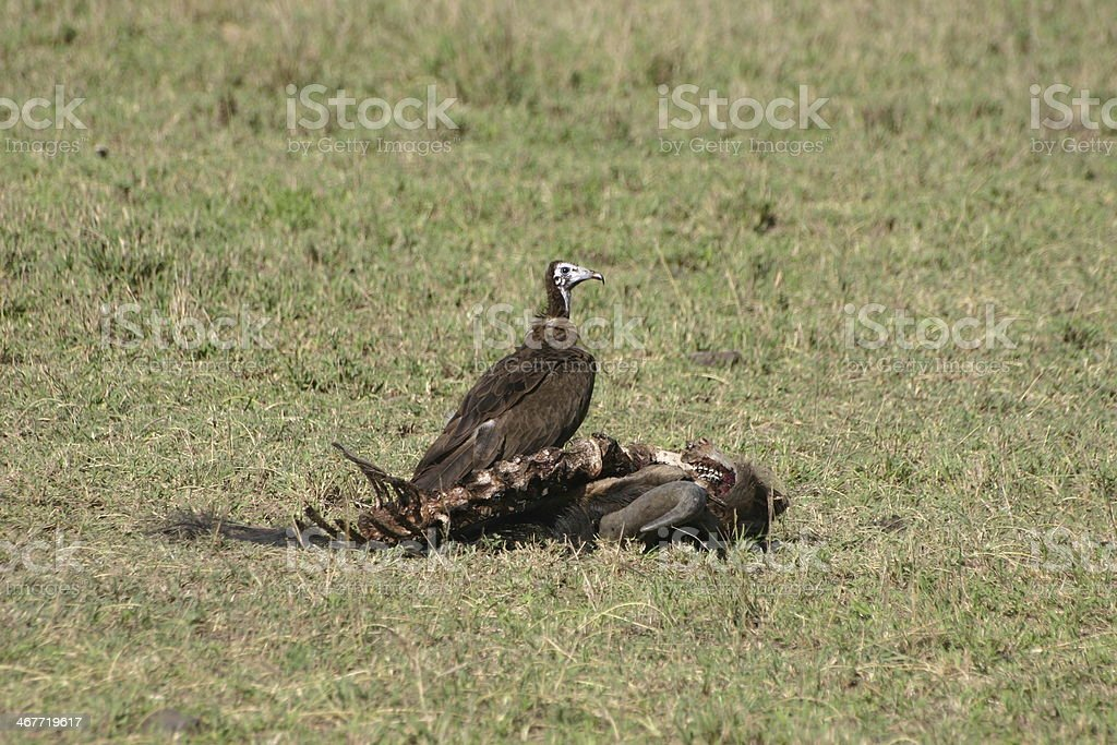 Volture eats the leftover meat fromcarcass of a wildebeest, Serengeti stock photo