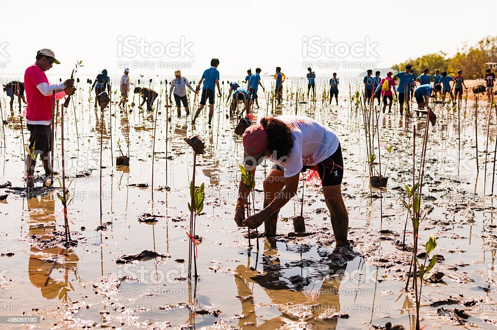 Volunteer plant young mangrove trees at the swamps nearby Saphan stock photo