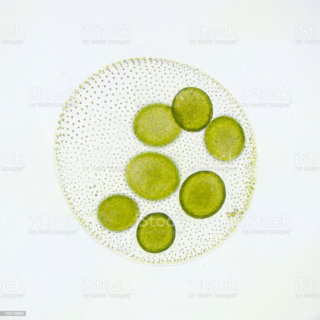 Volvox globator micrograph stock photo