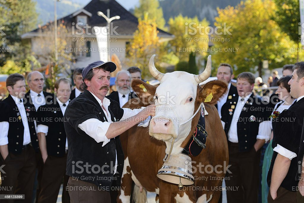 Voting for the most beautiful cow stock photo