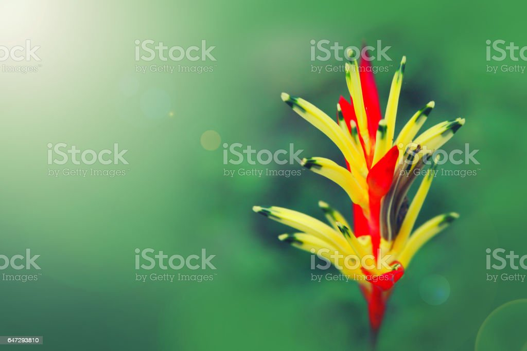 Vriesia splendens red and yellow flower stock photo
