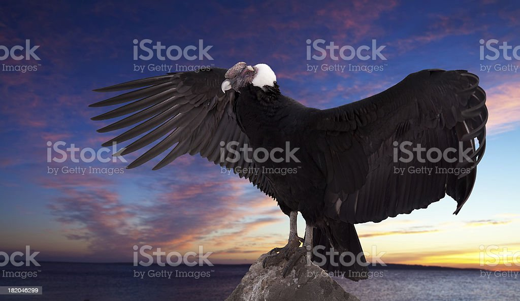 Vultur gryphu) against sunset sky royalty-free stock photo