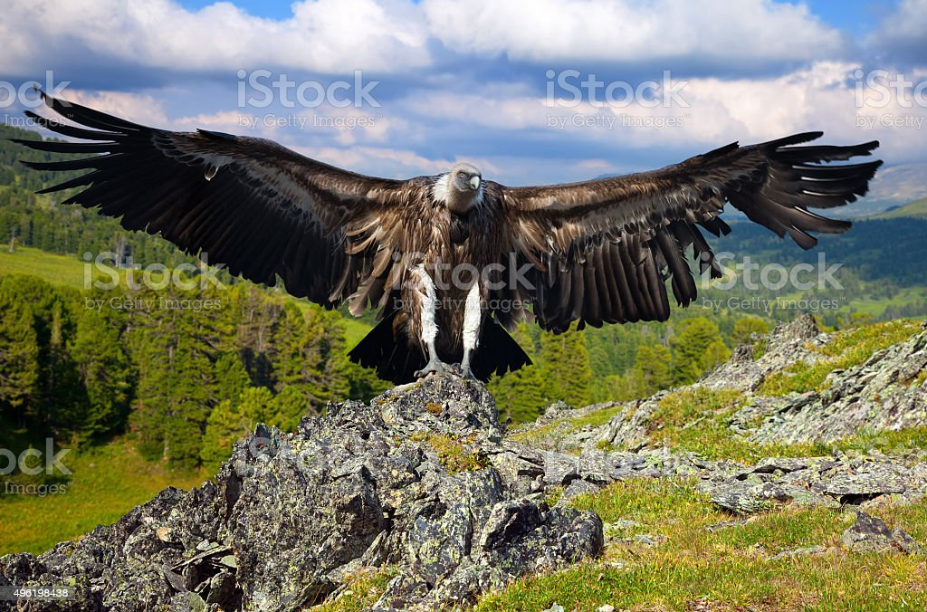 vulture  against rocks stock photo