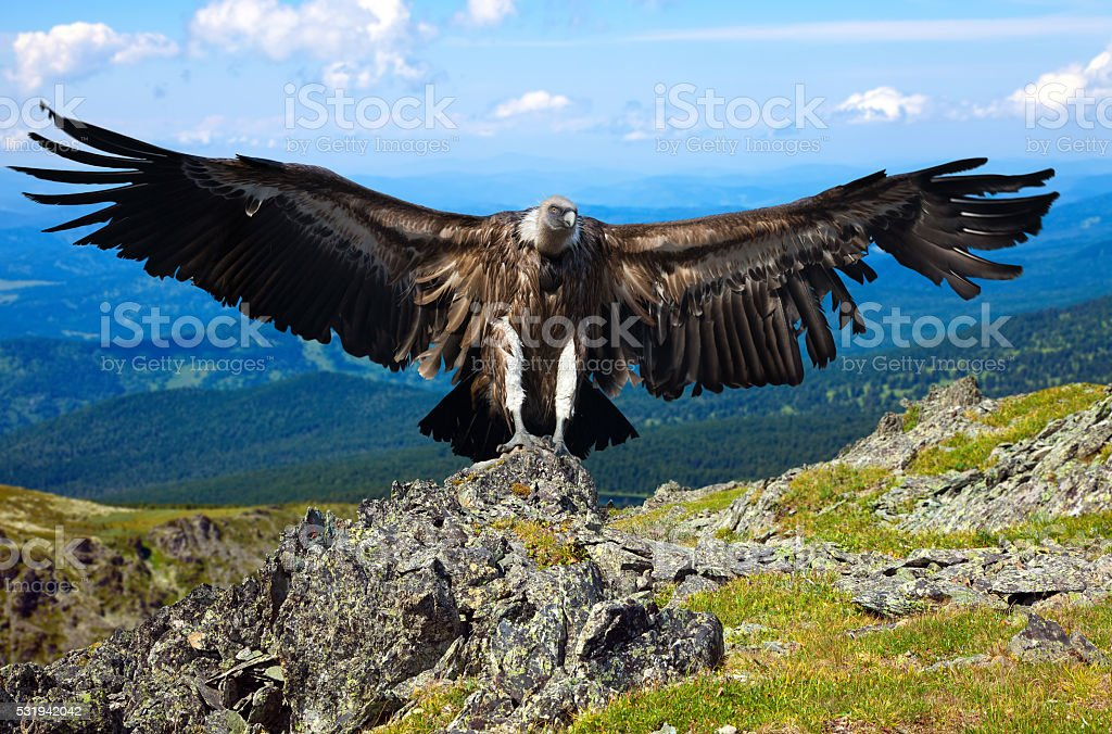 vulture  against rocky background stock photo