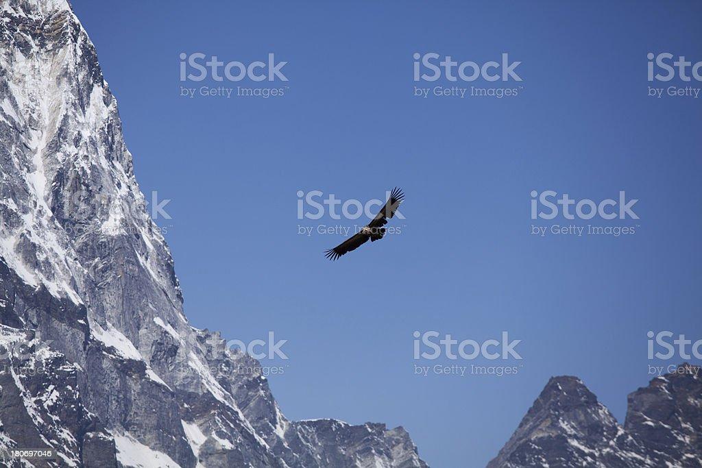 Vulture bird flying between Himalayas mountains stock photo