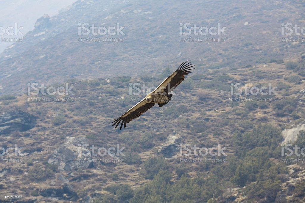 Vulture bird flying over the mountains stock photo