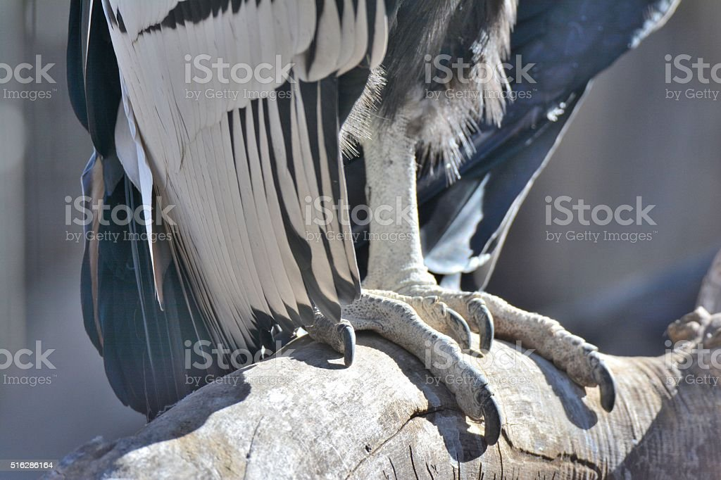 Vulture Claws stock photo
