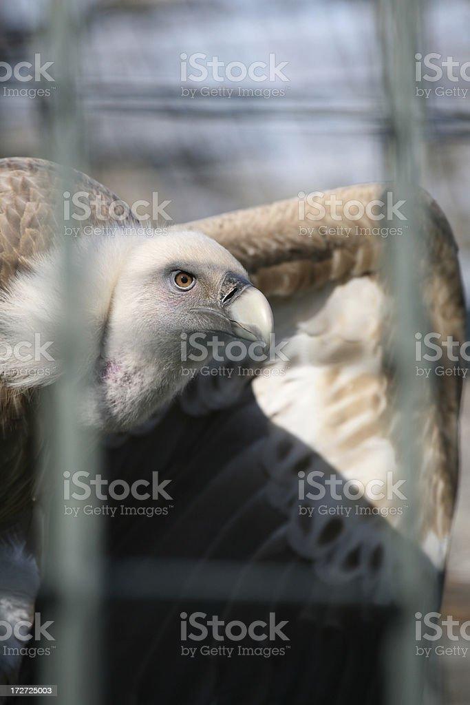 Vulture Eye royalty-free stock photo