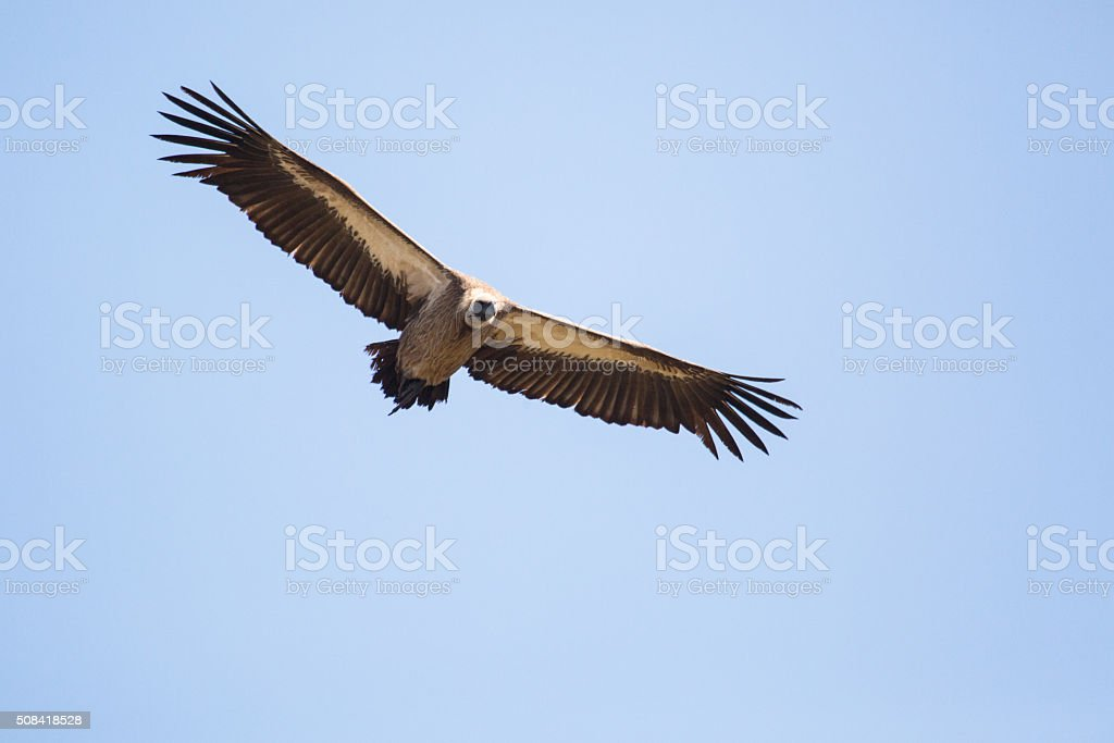 Vulture flying in blue sky stock photo