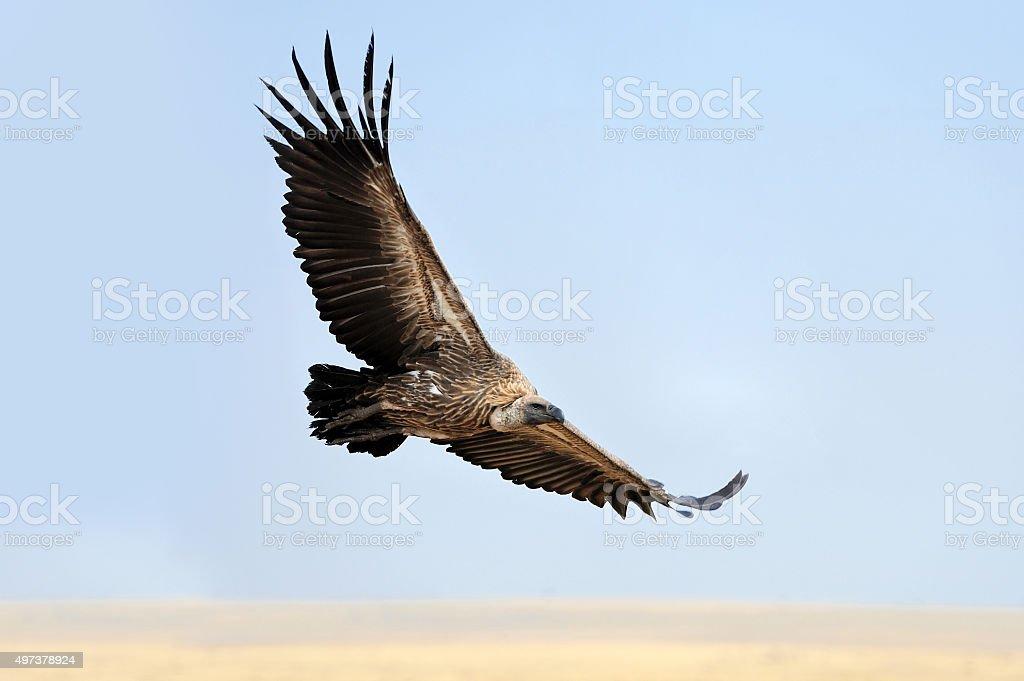 Vulture flying. Masai Mara National Park stock photo