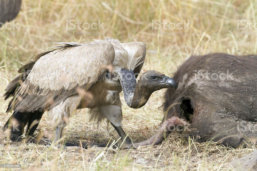 Vulture having a meal, Masai Mara National Park, Kenya stock photo