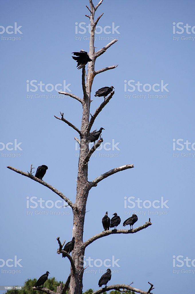 Vulture hierarchy on the tree branches stock photo