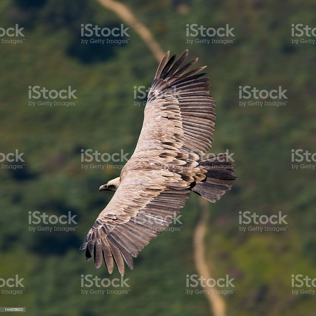 Vulture in flight stock photo