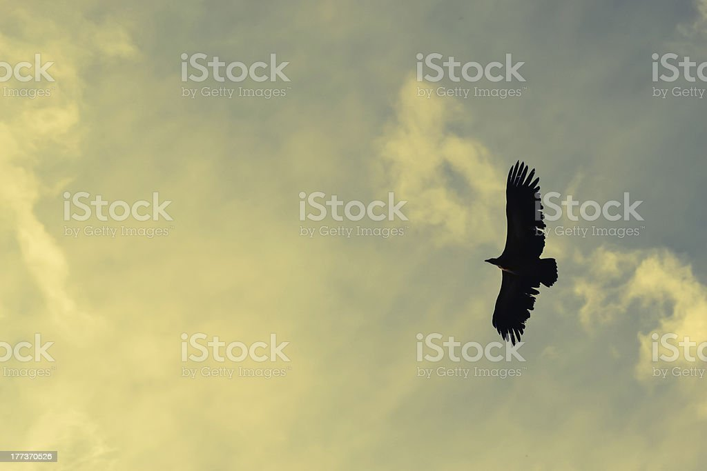 vulture in sky royalty-free stock photo