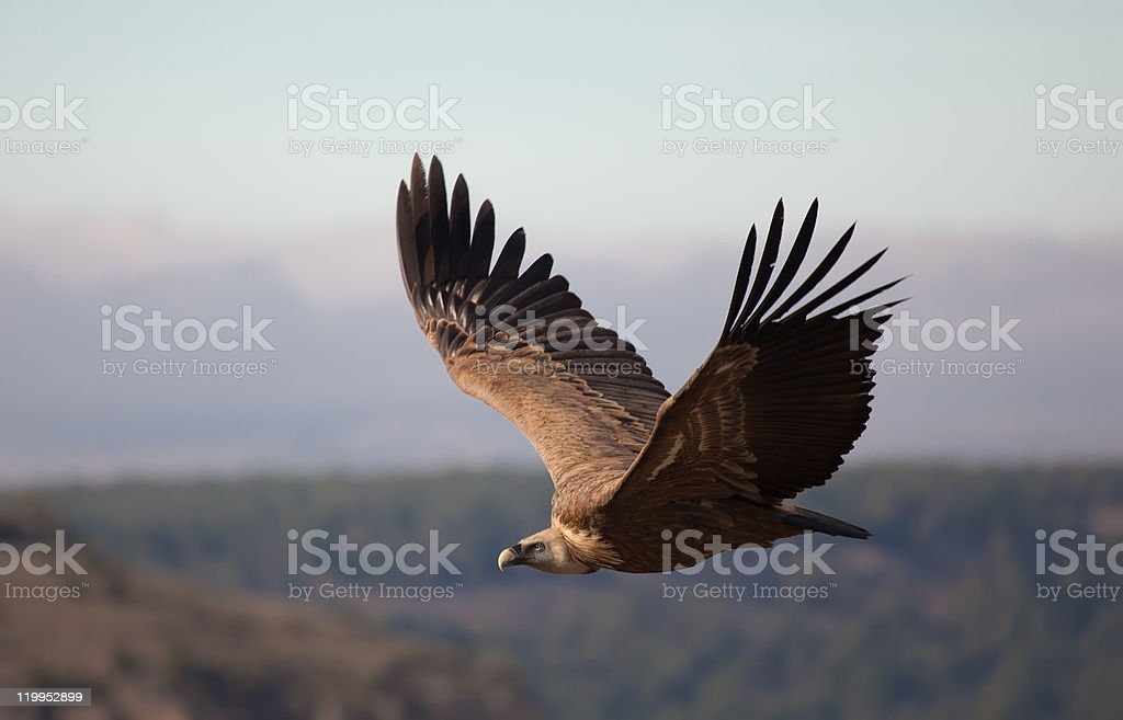 Vulture in las Hoces del Duraton stock photo