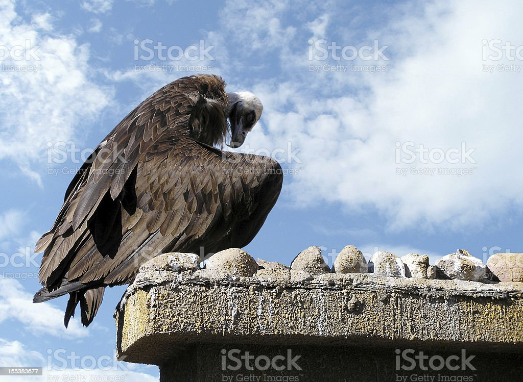 Vulture in the sky stock photo