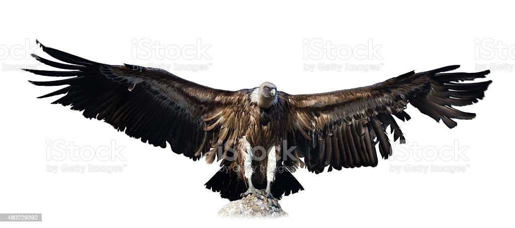 vulture. Isolated over white stock photo