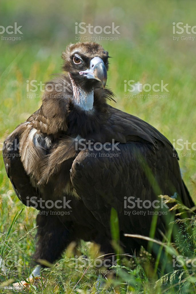 vulture on grass stock photo