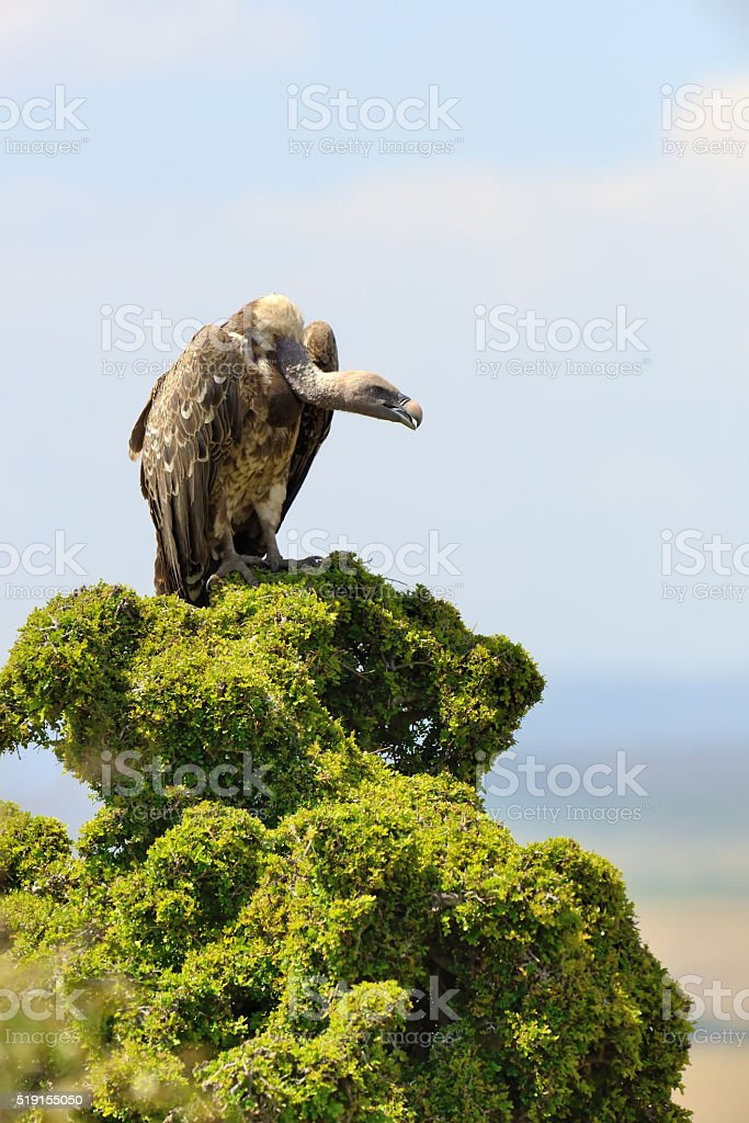 Vulture on tree stock photo