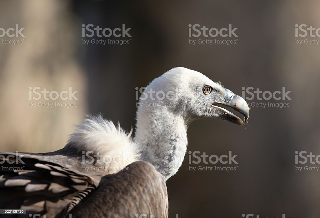 Vulture portrait stock photo