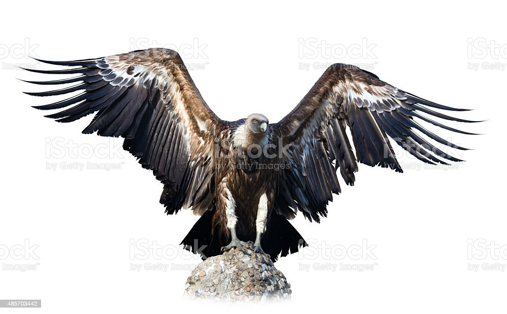 vulture  sitting on stone. Isolated over white stock photo