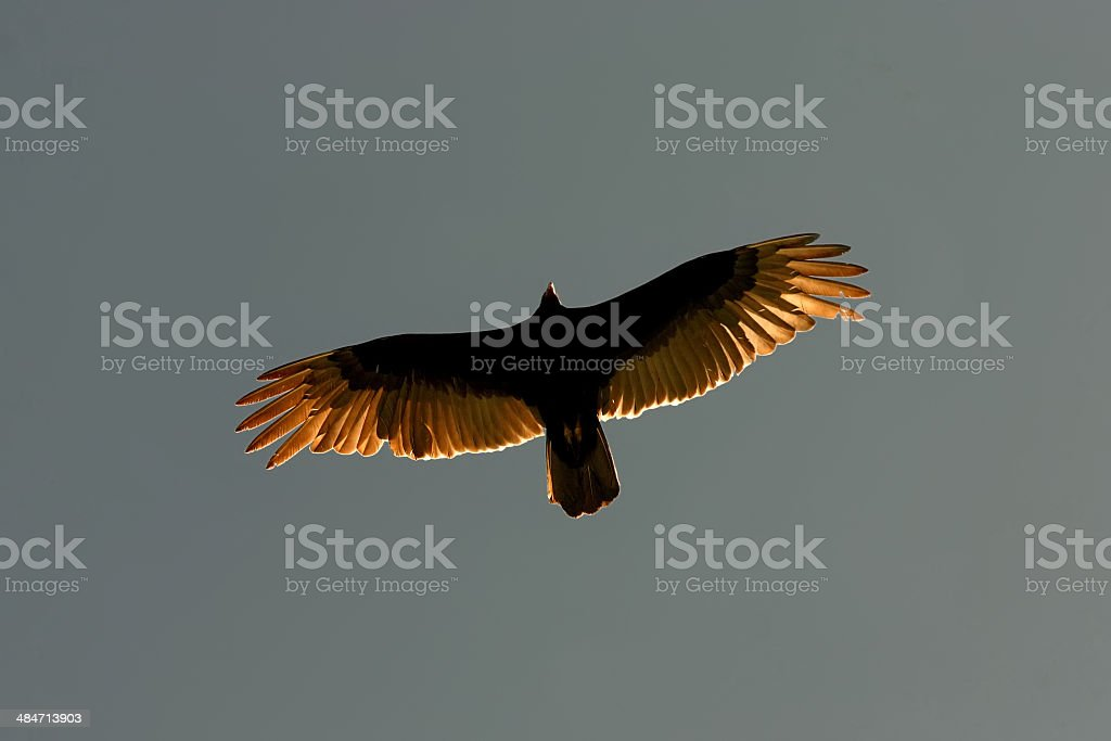 Vulture Soaring in Sunlight with Wings Outspread stock photo