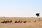 Vultures and Jackal in Etosha