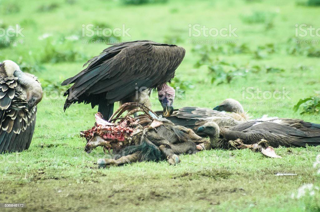 Vultures feeding on a kill stock photo