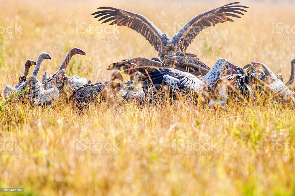 Vultures fighting stock photo