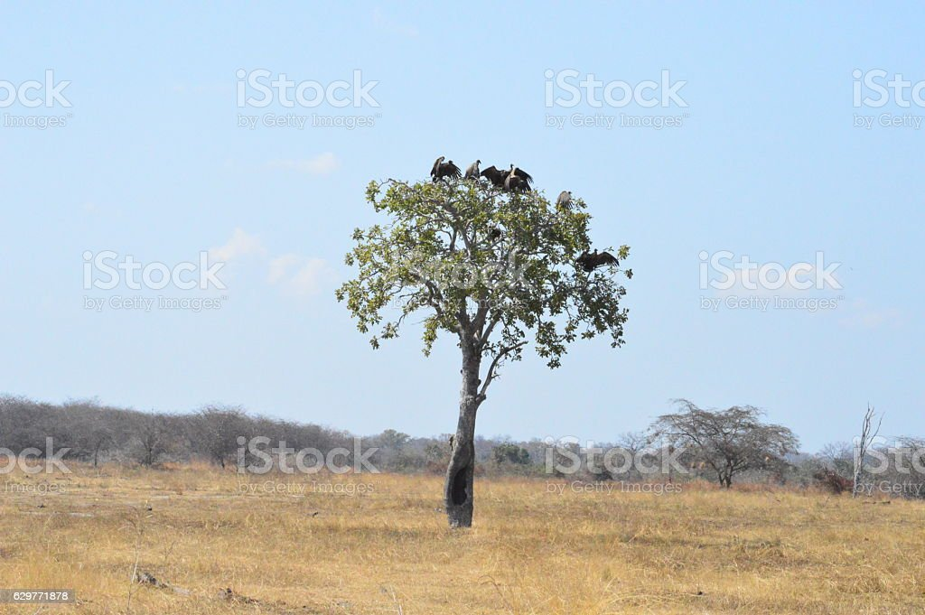 Vultures in a tree cooling off stock photo