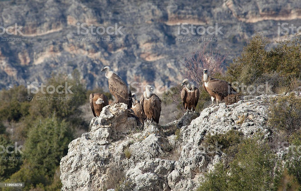 Vultures in las Hoces del Duraton royalty-free stock photo