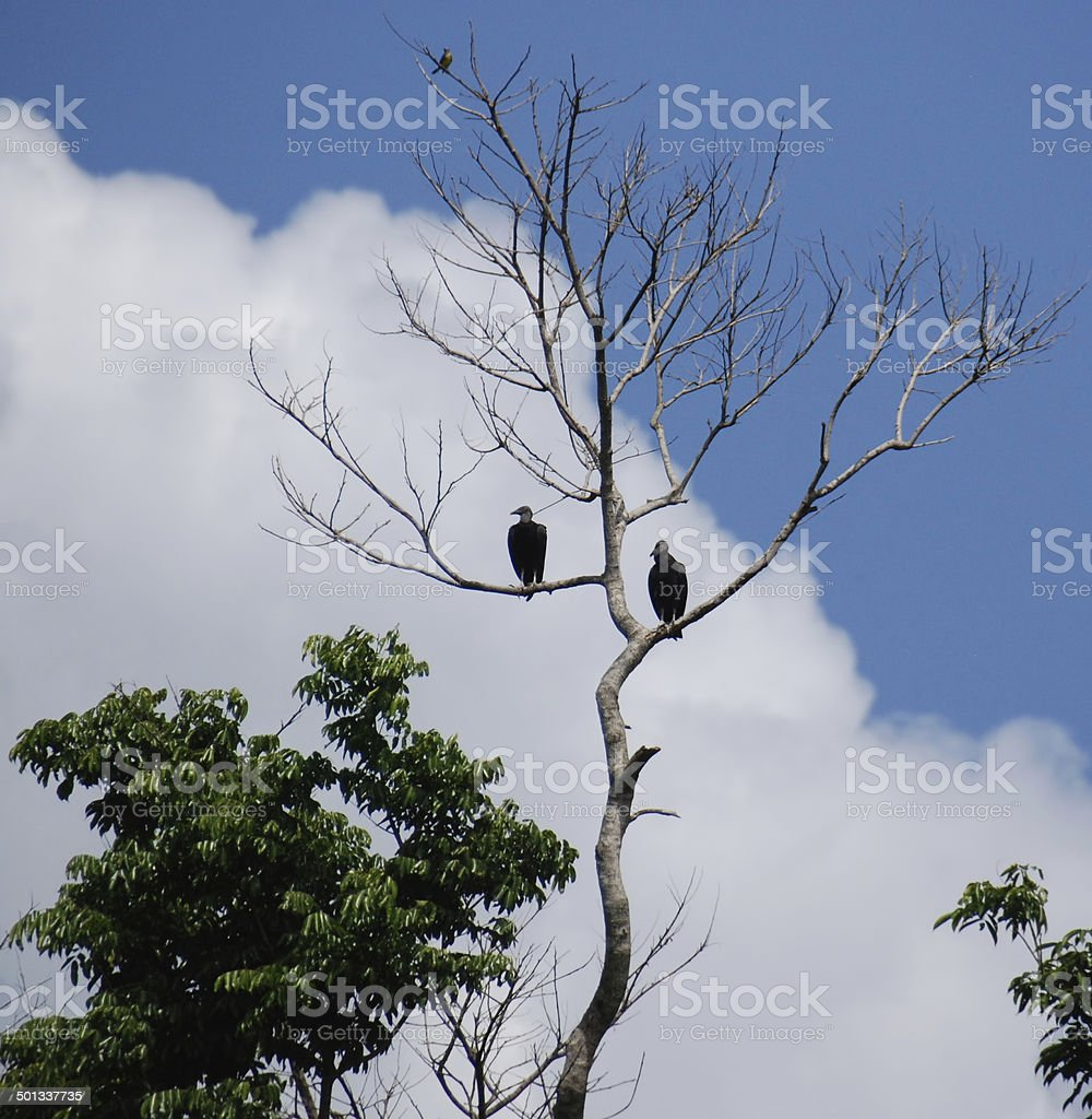 Vultures in tree on Tortuguero Canal Jungle River, Costa Rica stock photo