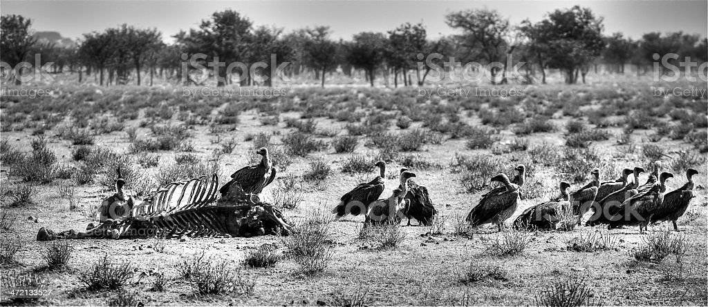 Vultures on a carcass stock photo