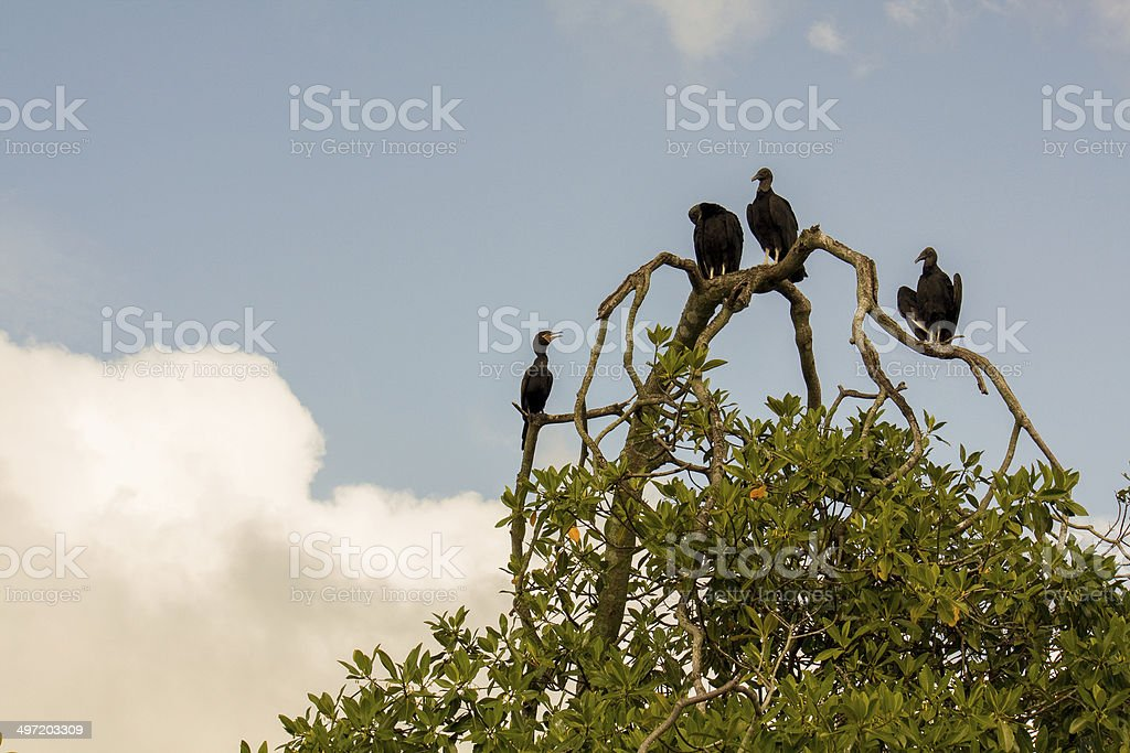 Vultures on the tree branch near Livingston in Guatemala stock photo