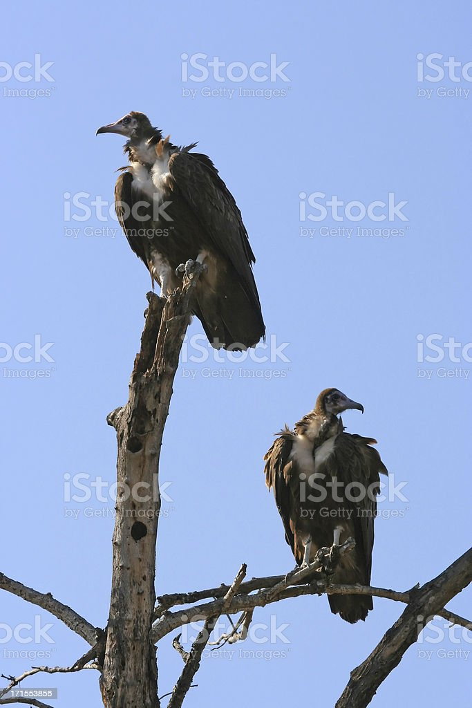 Vultures royalty-free stock photo