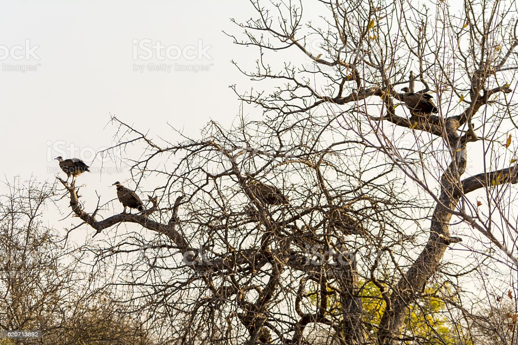 Vultures sitting in a tree in Greater Kruger National Park stock photo
